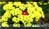 Yellow-Clover-Flowers-Video